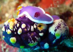 Nudibranch and Squirt Underwater Art, Underwater Creatures, Ocean Creatures, Beautiful Tropical Fish, Beautiful Ocean, World Wild Life, Under The Ocean, Sea Slug, Oceans Of The World