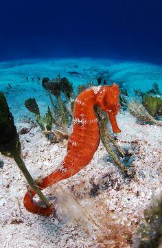 Seahorse | Flickr: Intercambio de fotos
