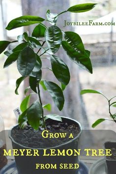 Grow a meyer lemon tree from seed | Joybilee® Farm | DIY | Herbs | Gardening |
