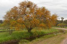 ACACIA CAVEN (Aromito-Churqui-Espinillo) Acacia, Flora, Country Roads, Chile, Garden, Plants, Trees, Landscaping, Twins