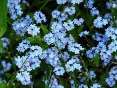 forget me not, Miosotis. Le plus joli bleu qu'il soit!