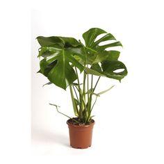 Monstera doniczka 17 cm 60 cm - Zielone - Rośliny domowe - Rośliny i materiały siewne - Ogród