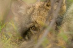 The Fate of the Famed Denali National Park Wolves May Depend on an Emergency Hunting Ban