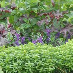 Tips for Preserving Basil | Rodale's Organic Life