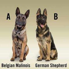 Malinois dog - Why Police Don't Use Pit Bulls Belgium Malinois, Belgian Malinois Dog, German Malinois, Military Working Dogs, Military Dogs, Police Dogs, Belgian Shepherd, German Shepherd Puppies, German Shepherds