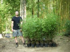The Black Bamboo 2 Gallon Plant might be for you. As the name suggests, this is a 'black' type of bamboo that's very rare, grows tall, and looks great when it matures. It's a single 2 gallon plant, which is larger than average – you will need to transplant it to a big pot when it arrives. It's expensive, but customers opine it's worth it and are happy to pay the price.