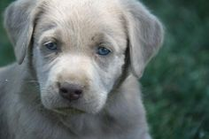 """Labrador retrievers, or """"Labs"""" as they've become fondly known, are one of the most popular dog breeds of our time. Baby Animals, Funny Animals, Cute Animals, Silver Lab Puppies, Labrador Retriever, Most Popular Dog Breeds, Tier Fotos, I Love Dogs, Cute Puppies"""