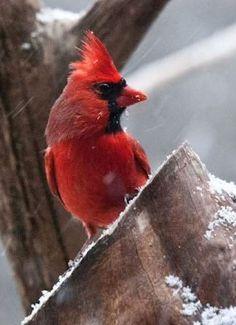 Cardinal - North Carolina State Bird