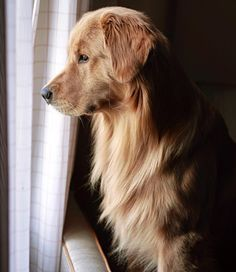 "16.7k Likes, 144 Comments - Rufio the Golden Retriever (@livingthatgoldenlife) on Instagram: ""I am an excellent guard dog. Any intruder that dares enter my home shall be met with the fiercest…"""