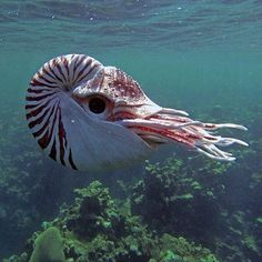 Beautiful nautilus .