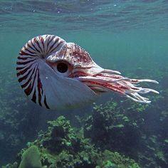 Beautiful nautilus saved from plus.google
