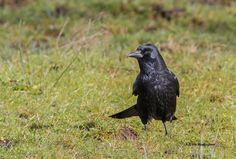 Zwarte kraai, Carrion Crow, Corvus corone