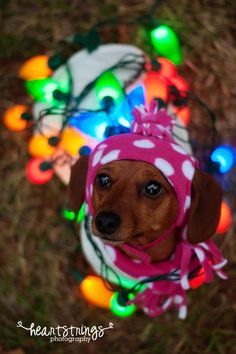 Heartstrings Photography  https://www.facebook.com/heartstrings.photo  dog, pet, Christmas, holiday, dachshund, lights, winter