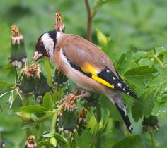 Image result for goldfinch feeding