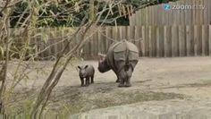 Galdinosaqua no Mundo Animal :Bebezinho de rinoceronte vê o mundo pela primeira vez