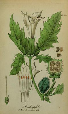 Stechapfel, Toxin plants, Sämmtliche Giftgewächse Deutschlands , Eduard Winkler, Leipzig, 1854.  Kupferstich. Biodiversity Heritage Library