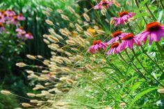 Nice combination: Echinacea en ornamental grasses