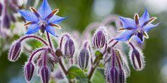 Cinco são os benefícios de se ter borragem no jardim.