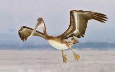 Young Brown Pelican landing, Indranil Sircar (Pelagic Birds, Shorebirds)
