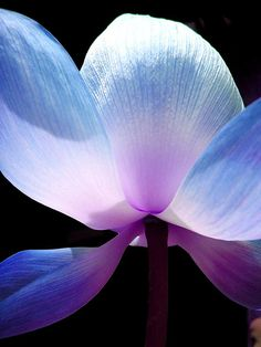 Amazing light through the flower petals