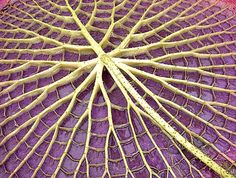 ~~ Underside of the leaf of a giant Amazonian waterlily, Victoria cruziana ~~
