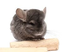 This chinchilla looks nice<br> Chinchilla Care, Best Small Pets, Small Pet Supplies, Tier Wallpaper, Pet Guinea Pigs, Animal Quotes, Animal Kingdom, Pet Birds, Cute Animals