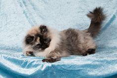 2 Januari 2016. 5 Jaar en 1 maand oud. Ragdoll Fox, Cats, Animals, Gatos, Animales, Animaux, Animal, Cat, Animais
