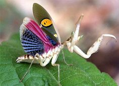 """Blue-winged Mantis ~ Mik's Pics """"Arachnids and Insects l"""" board Cool Insects, Flying Insects, Bugs And Insects, Beautiful Bugs, Amazing Nature, Beautiful Pictures, Cool Bugs, Indian Flowers, A Bug's Life"""