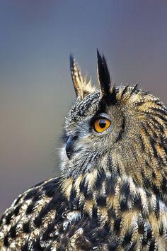 Eurasian Eagle Owl, Cairngorms National Park, Scotland