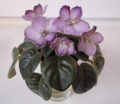 Oksana (S.Sorano) 11/09/1996 (8539) Semidouble lavender pansy/variable darker-tipped top petals. Medium-dark green, plain. Semiminiature.