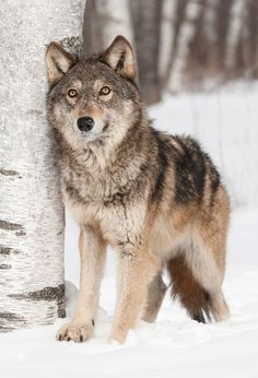 Wolf in the snow.