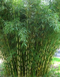 "Bamboo: clumping, cold hardy variety,(Fargesia robusta ""Campbell"") at Bamboo Garden in North Plains, Oregon"