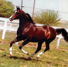 Khemosabi. Undoubtedly one of the most beautiful, famous horses in Arabian horse history.