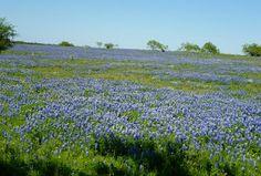 texas blue bonnet trails