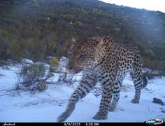 Farm 215 - nature retreat & fynbos reserve Spotted crossing the road up to the lodge, footprints all over in the past two years, but so far she avoided the cameratrap. Till Kim and Victor Breach took over camera trapping and this beauty revealed herself yesterday evening. Footprints, The Past, Wildlife, Nature, Animals, Beauty, Naturaleza, Animales, Animaux