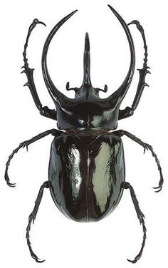OVERSTOCK: Giant Scarab Beetles, Chalcosoma atlas or caucasus Real