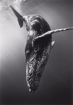 swhy:Diving Humpback Whale - Wayne Levin