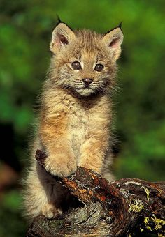 Lynx Kitten 8x10 Animal Photography Wildlife Nature by NatureIsArt