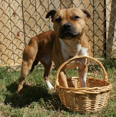 What's The Cutest Easter Photo That Ever Happened? Too cute Best Dog Breeds, Best Dogs, American Staffordshire Bull Terrier, Cute Easter Bunny, Hoppy Easter, Funny Animals, Cute Animals, Mastiff Mix, Pitbull Terrier