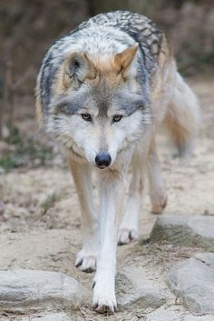Mexican Wolf Walk by Mark Dumont**
