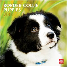 Border Collie Puppies Wall Calendar: Intelligent, alert, and adorable, Border Collie puppies will grow up to be supreme sheepherders. Even at an early age, their natural herding instinct is noticeable.  $14.99  http://calendars.com/Border-Collies/Border-Collie-Puppies-2013-Wall-Calendar/prod201300004548/?categoryId=cat10100=cat10100#