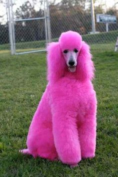 "Check out our web site for additional relevant information on ""poodle pups"". It … Check out our web site for additional relevant information on ""poodle pups"". It is a great place to read more. Pink Animals, Cute Animals, Colorful Animals, Vintage Pink, Funny Photo Gallery, Pink Poodle, Pink Dog, Fuchsia, Everything Pink"