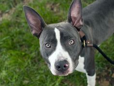 URGENT! THIS DOG WILL BE EUTHANIZED UNLESS A HOLD IS PLACED ON HIM BY NOON EST 6/3/14.  LOG IN TO THE AT RISK LIST TO PLACE A HOLD AND SAVE A LIFE.  http://www.nycacc.org/PublicAtRisk.htm  My name is RAMBO. My Animal ID # is A1000644. I am a male gray and white pit bull mix. The shelter thinks I am about 1 YEAR 1 MONTH old.