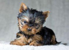 This Yorkie puppy is looking for someone to snuggle with