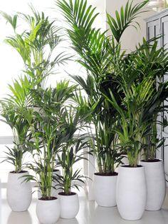 Kentia Palm - Woonplant van de maand Januari. #plant #kentiapalm #interior…