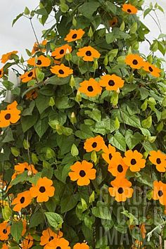 black eyed susan vine.........LOVE vines.....flower so pretty.......& they add colour & height to a garden........I even mix them into my kitchen garden.......look fun against my tomatoes....
