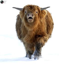 I can't go any father. Cow Pictures, Cow Pics, Animal Pictures, Scottish Highland Cow, Highland Cattle, Farm Animals, Animals And Pets, Cute Animals, Sweet Cow