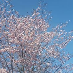 blossom and a perfect blue sky. #blossom #bluesky #spring  www.wordsthroughtheeyes.com