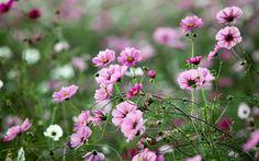 цветы, природа, трава, макро, поле, зелень, космея, розовые, поляна, растения…