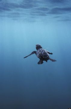 Swimming baby sea turtle